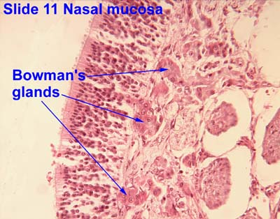 Chapter 22 Respiratory System 1 moreover 14 Digestive System also 806digestionlab additionally 6331023 furthermore Anatomy Of Peritoneal Spaces. on serous membrane slide