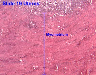 female reproductive, Muscles