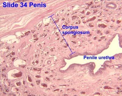 Tissue Penis 28