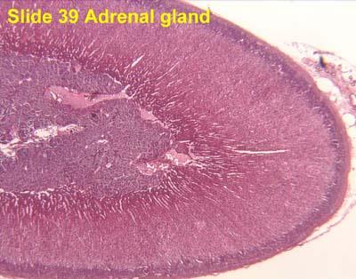 adrenal glands secrete corticosteroids