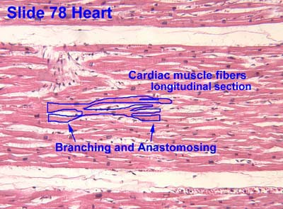 branched cardiac muscle fiber - photo #10