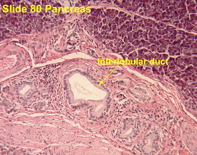 Liver Gall 20bladder Pancreas on where are your pancreas located