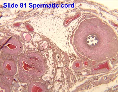 pampiniform plexus histology - photo #15