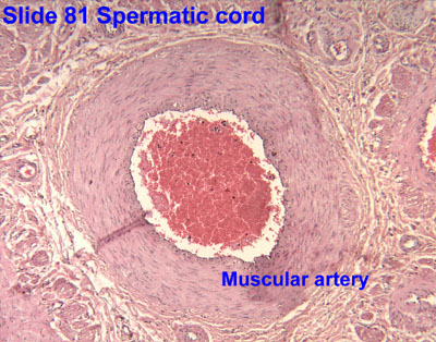 pampiniform plexus histology - photo #25