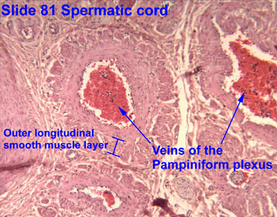 pampiniform plexus histology - photo #1